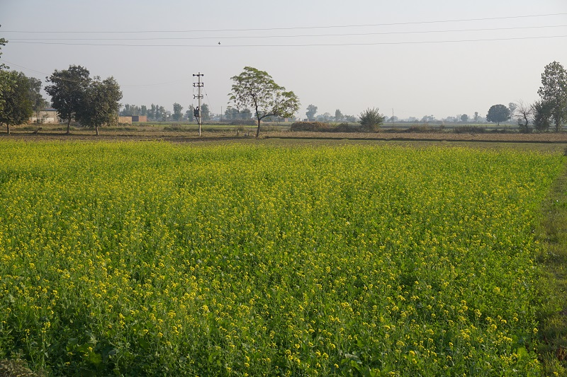 Sarso Fields, Punjab