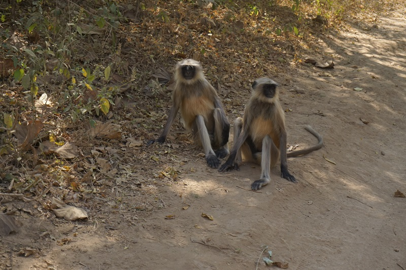 Monkey, Gir Forest