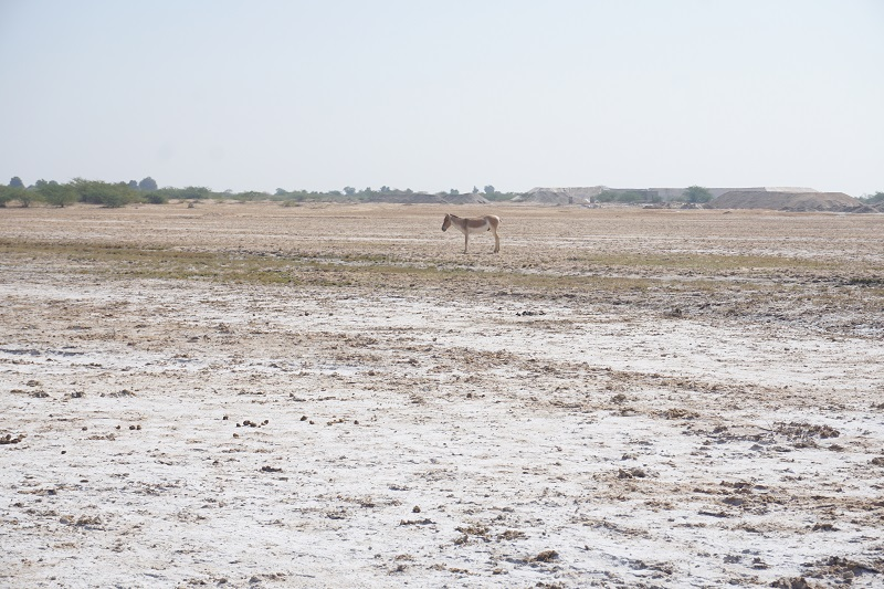 Wild Ass, Little Rann of Kutch
