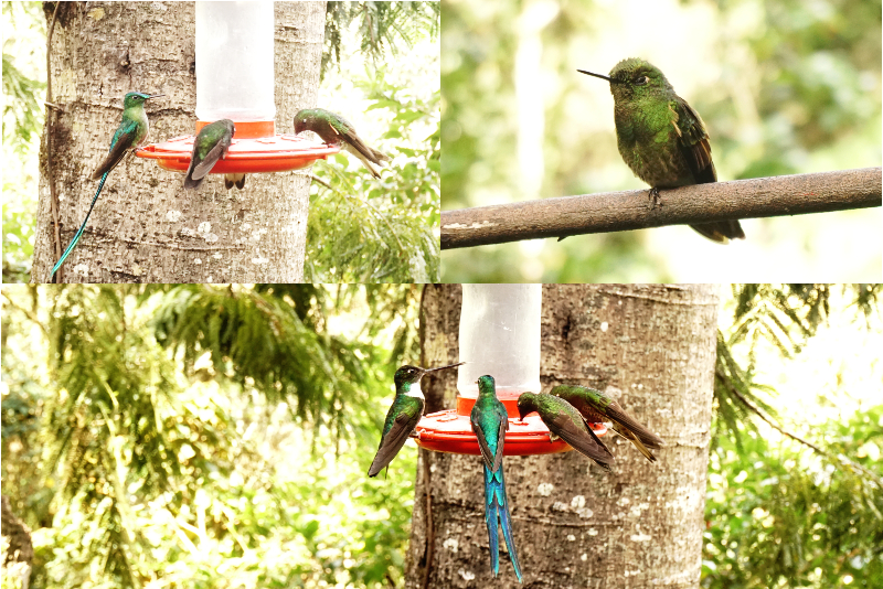 Humming Birds, Acaime, Cocora Valley, Colombia