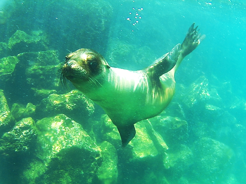 Swimming Sea Lion, Santa Fe, Galapagos Islands