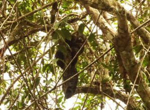 Wooly Monkey, Cuyabeno Reserve, Visit Amazon in Ecuador