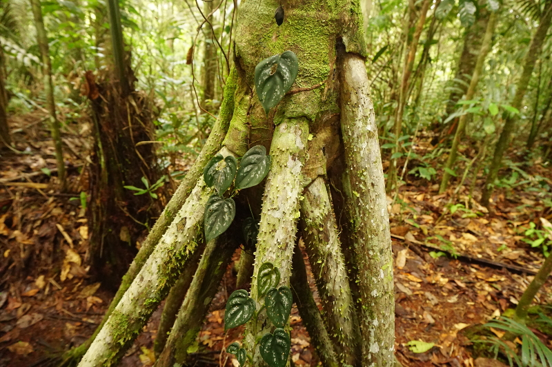 Walking tree, Cuyabeno Reserve, Visit Amazon in Ecuador