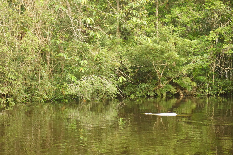 Dophin Swimming, Cuyabeno Reserve, Visit Amazon in Ecuador