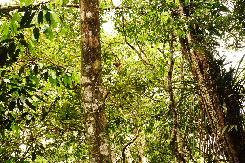 Flying monkey in the trees, Cuyabeno Reserve, Visit Amazon in Ecuador