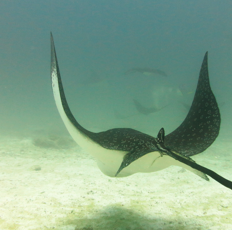 Eagle Ray, Diving Seymour, Galapagos Islands, Ecuador