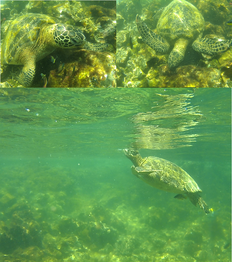 Sea Turtle, Concha Y Perla lagoon, Isabela, Galapagos Islands