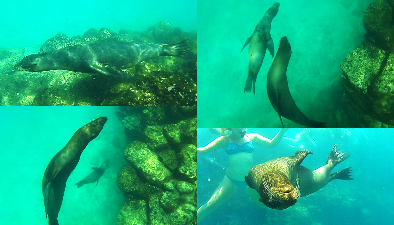 Swimming Sea Lions, Santa Fe, Galapagos Islands