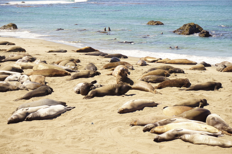 Elephant Seals, Big Sur, California Coast
