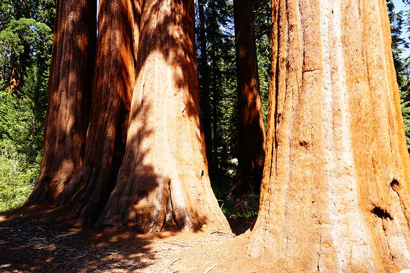 Sequoia Trees, Kings Canyon National Park, California