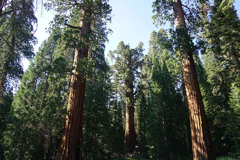 General Sherman, Sequoia Trees, Sequoia National Park, California