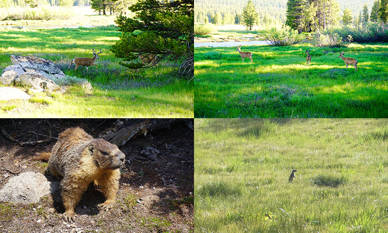Wildlife, Deer, Marmot, Prairie dog, Yosemite National Park, California