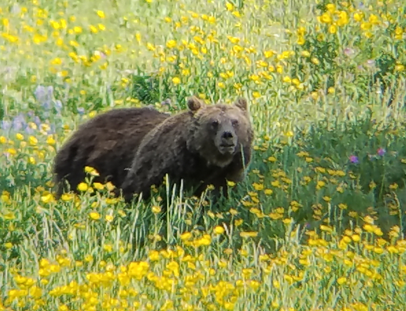 Grizzly Bear, Hayden Valley, Yellowstone National Park, USA